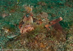 BD-090927-Lembeh-9274561-Scorpaenopsis-oxycephala-(Bleeker.-1849)-[Caledonian-devilfish].jpg